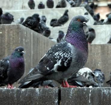 Pigeons des villes