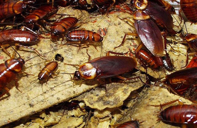 Les blattes ou les cafards