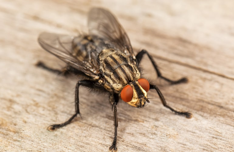 Les mouches et moucherons
